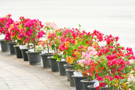A row of colorful bougainvillea flowers blooming in black pot stand on the sidewalk near the road background, ornamental
