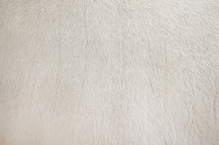 Real white cow  fur clean texture,Natural abstract pattern animal background Standard-Bild