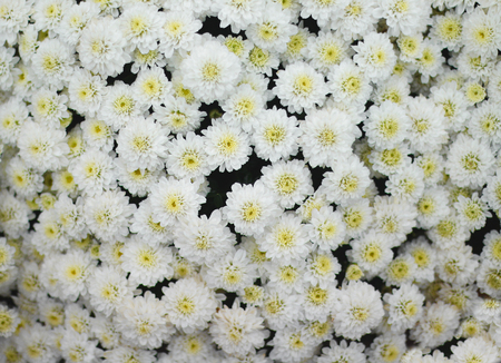 Top view huge colorful white chrysanthemum flowers group  blooming in garden 版權商用圖片