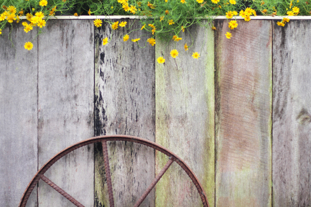 Wooden in vertical design with rusty steel wheel and colorful yellow singapore dailsy flowers blooming group, space for text