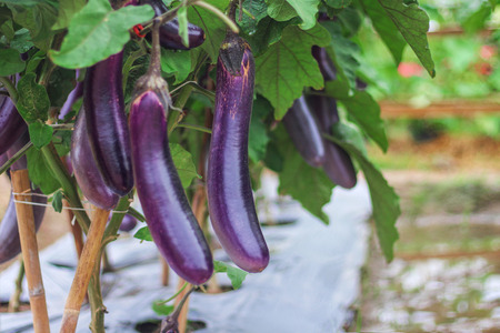 Purple eggplants group hanging on tree in organic vegetable farm