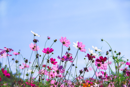 Colorful  multicolored cosmos flowers blooming with reflection from the sun in garden on vivid blue sky background
