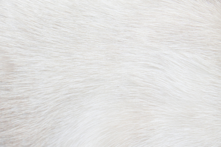 Fur cat light gray or white  texture abstract for background , Natural animal patterns skin 写真素材