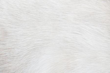 Résumé de texture gris clair ou blanc de chat de fourrure pour le fond, peau naturelle de modèles d'animal