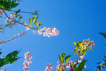 Inflorescence treetop of colorful pink sakura flowers nature patterns blooming on clear blue sky background