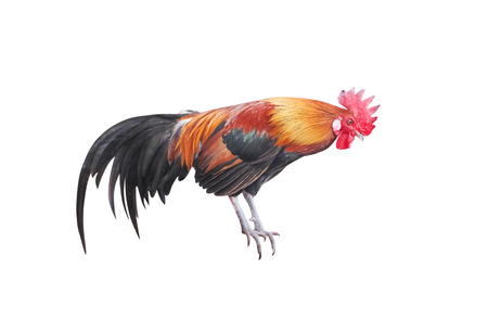 Colorful fighting cock standing isolated on white background with clipping path