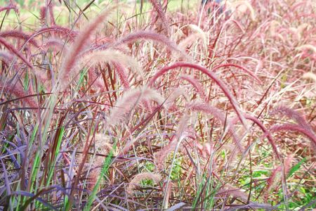 Purple or pink fountain grass field  , natue background