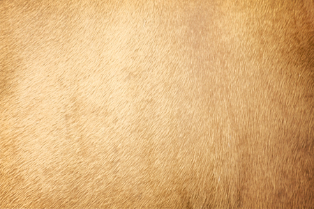Brown cow skin texture for background Stock Photo