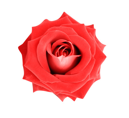 Top view red rose colorful flowers blooming  isolated on white background