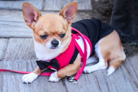 Adorable brown chihuahua wearing a black bow and colorful pink shirt , sitting on the floor background