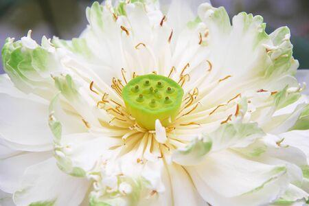 Sweet single white lily lotus flowers blooming
