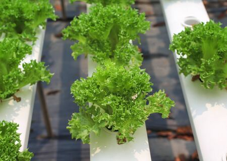 Frillice iceberg green lettuce salad organic vegetable in hydroponics farm