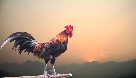 Single jungle fowl crowing in early morning on mountains landscape with sunrise beautiful sky background ,  new day and new year concept