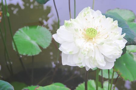 Single white lily lotus flowers blooming with green stem and leaves in pond background