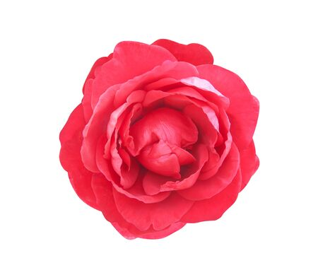 Fresh red rose petal flower patterns  blooming top view isolated on white background valentine day or wedding concept