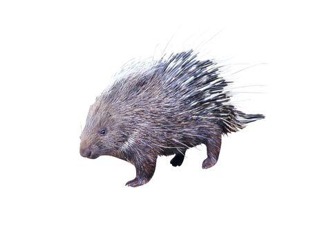 Malayan porcupine hystrix brachyura animal isolated on white background Stockfoto