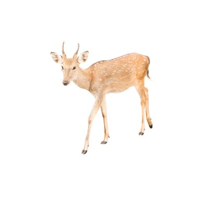 Deer with horn patterns walking  isolated on white background