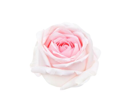 Fresh pink rose bud flowers head sweet petal patterns begin blooming isolated on white background
