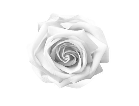 White  gray rose flowers  blooming isolated on background   , beautiful natural patterns top view