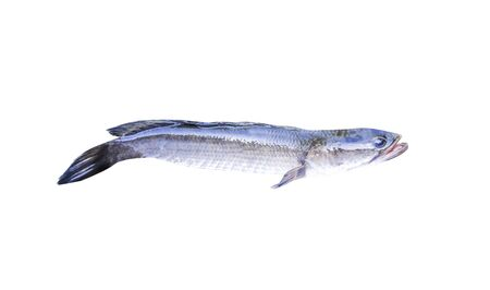 Snakehead fish open mouth  , tropical fresh water fish isolated on white background and clipping path