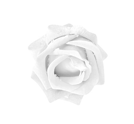 Rose flowers gray or white petal blooming with water drops isolated on background   top view Stock Photo