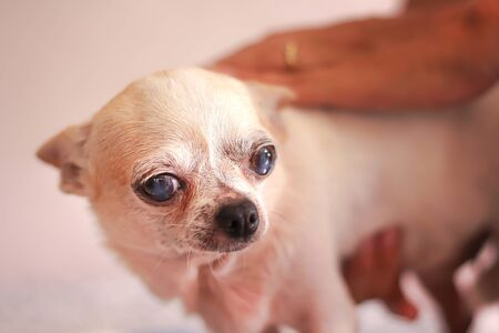 Single old white chihuahua dog face on background