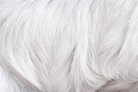 Modèles de chien de fourrure gris ou blanc pour la texture animale naturelle pour le fond Banque d'images