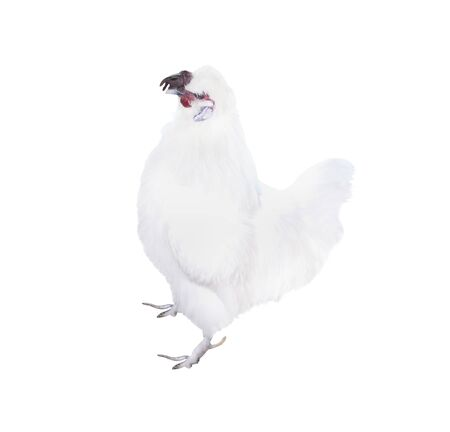 White rooster bantam  patterns standing  isolated on  background