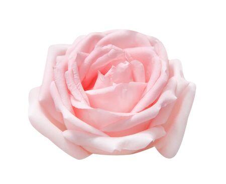 Nahaufnahme hellrosa Rosenhaut Blume isoliert auf weißem Hintergrund, einzeln