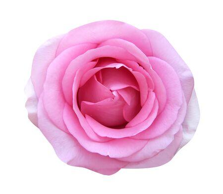 Belle rose rose pétales de fleurs en fleurs vue de dessus isolé sur fond blanc