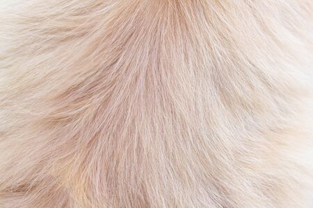 Persian fur cat light brown texture abstract for background , Natural animal patterns skin