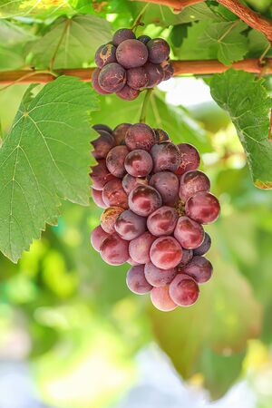 Red grapes  fruit hanging on tree in organic orchard background