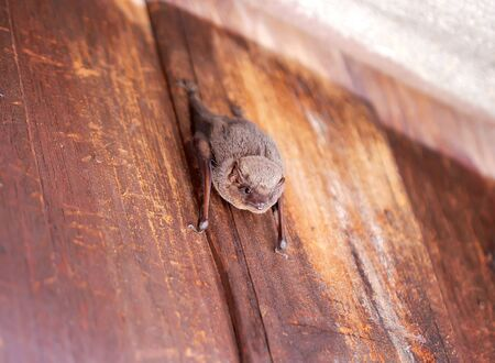 Bat hanging on wood wall near roof background
