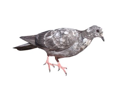 Single grey pigeon with white striped isolated on white background Фото со стока