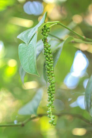 Fresh piper nigrum hanging on tree
