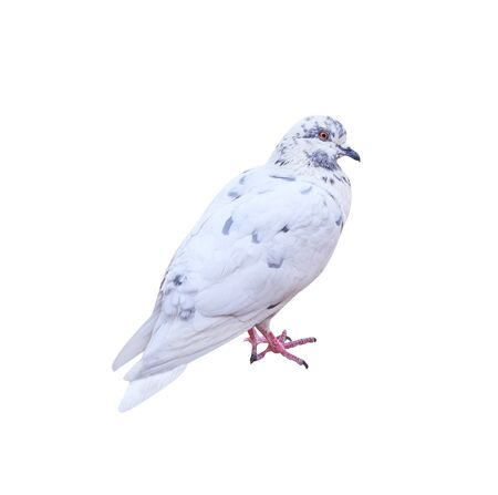 White pigeon with grey striped isolated on white background , clipping path