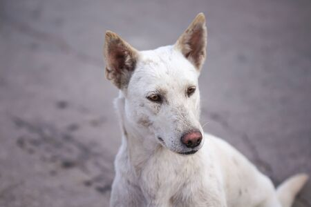 Single white homeless dog sitting on the ground , animal outdoor background Banque d'images