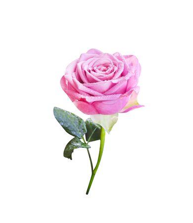 Rosa Rose Blume mit Wassertropfen, grünem Stiel und Blättern in vertikaler Form isoliert auf weißem Hintergrund,