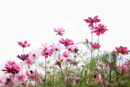 Mexican Aster blooming or cosmos flowers field in nature garden on sky outdoor background