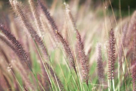 Purple needle grass flowers blooming  in nature garden on background