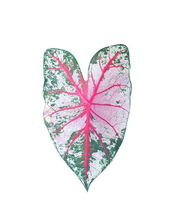 Leaves heart shaped patterns macro texture ,  queen of the leafy plants isolated on white background and clipping path