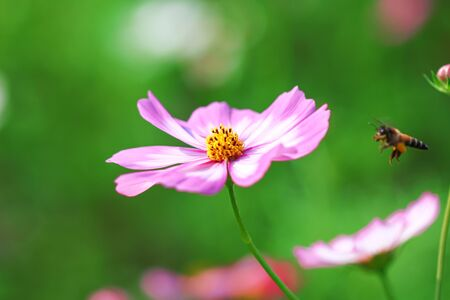 Pink mexican aster or cosmos flowers with flying bee  in nature garden outdoor background Фото со стока