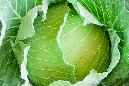 Green cabbage texture background top view Stock Photo
