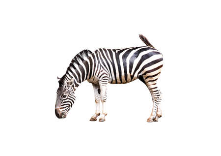 Zebra standing and eating grass  isolated on white background