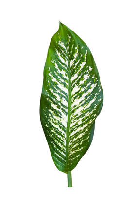 Green leaf of dumb cane plant isolated on white background