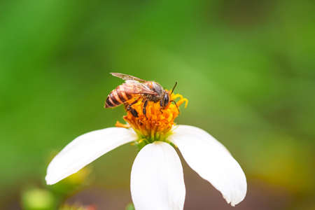 Bidens pilosa flower blooming with single bee drinking nectar nature insect background