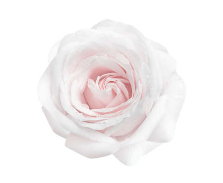 Pink rose flower skin  nature petal closeup background