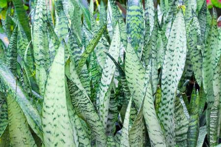 Snake plant or green sansevieria trifasciata prain nature leaf field outdoor background 版權商用圖片