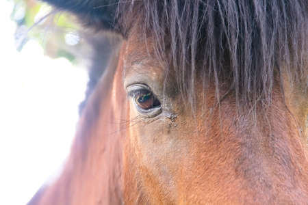 Close up eye of  brown horse , animal face background 版權商用圖片
