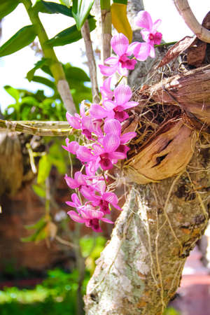Pink orchids dendrobium branch blooming hanging on tree background 版權商用圖片